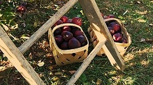 apples-399870_1280